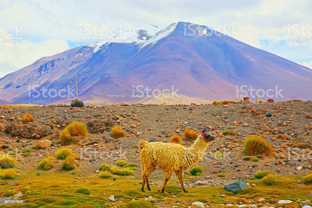 Alpaca andean llama, animal wildlife in Bolivian Andes altiplano and Idyllic Atacama Desert, Volcanic landscape panorama – Potosi region, Bolivian Andes, Chile, Bolívia and Argentina border stock photo