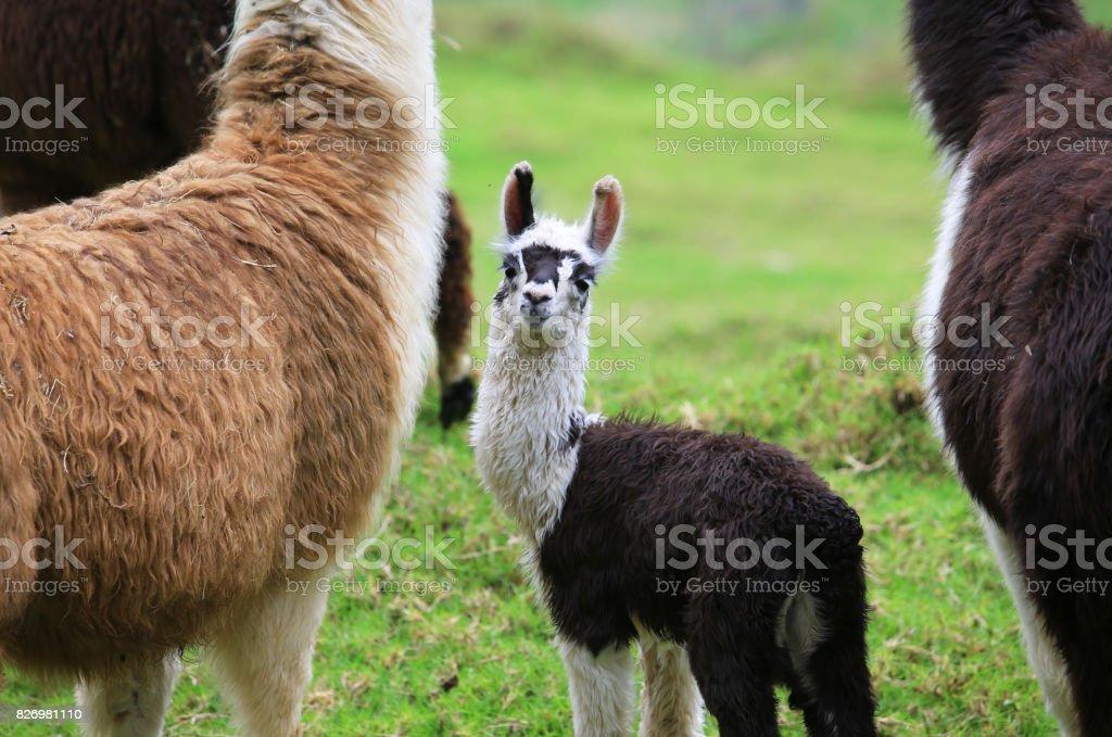 Alpaca baby met zijn moeder foto