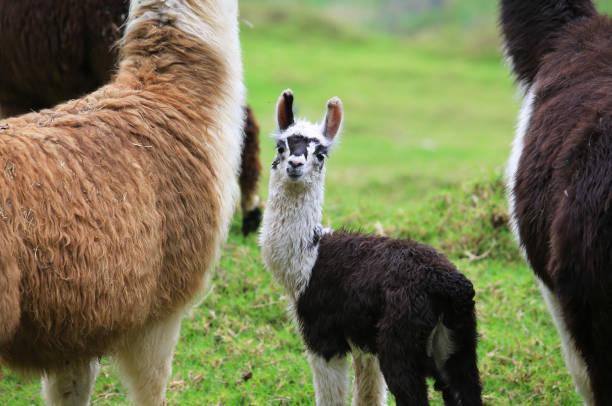 alpaka-baby mit seiner mutter - lama kamelartige stock-fotos und bilder