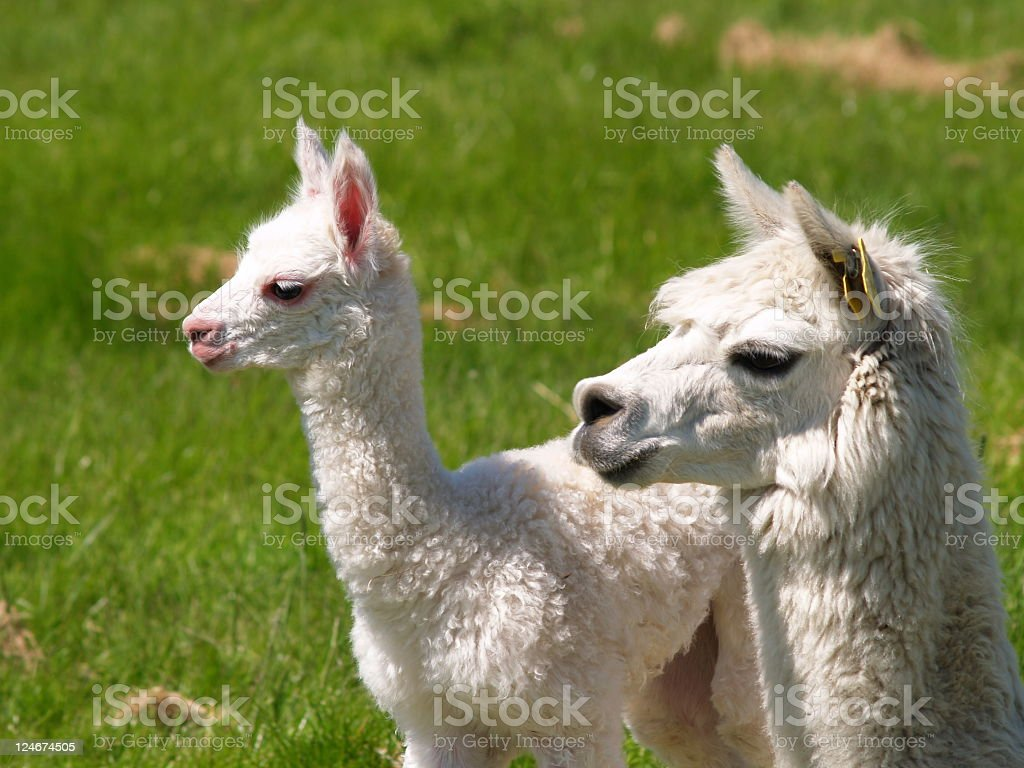 Alpaca baby with mother stock photo