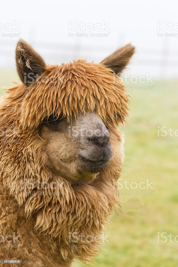 Alpaca brown and hairy royalty-free stock photo