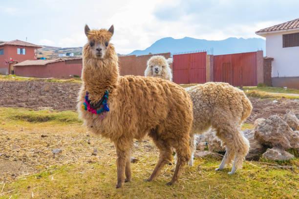 alpaka chinchero peru - lama kamelartige stock-fotos und bilder