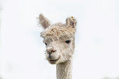Close up of alpaca head against white background