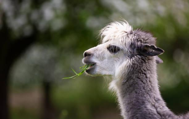 Alpaca eating grass,South American mammal stock photo