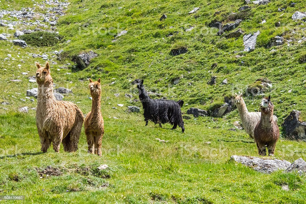 alpaca family portrait while looking at you stock photo