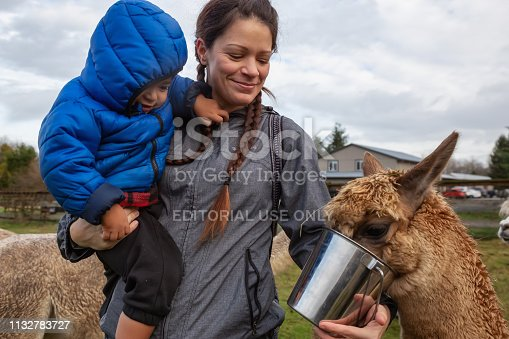 Langley, Vancouver, BC, Canada - December 19, 2018: Mother and Child feeding food from hand to an Alpaca in a farm during a cloudy day.