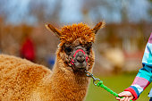 alpaca with a girl in a local zoo