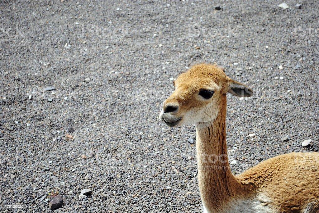 Alpaca in Cusco Peru stock photo