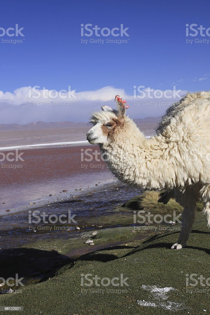 Alpaca in Laguna Colorada royalty-free stock photo