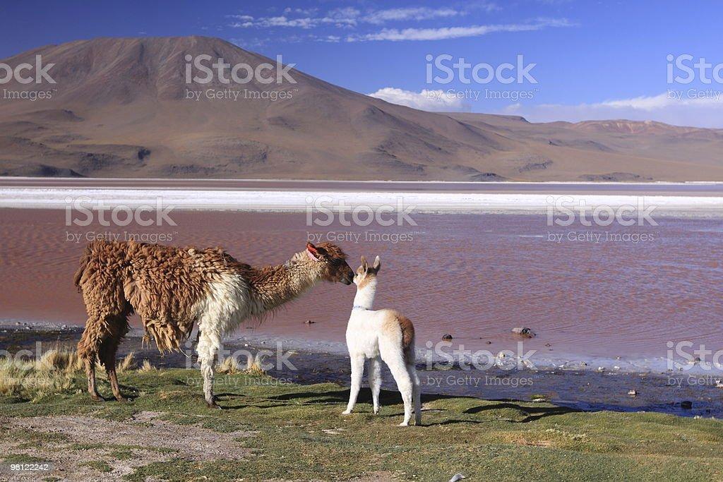 Alpaca in Laguna Colorada royalty-free stock photo