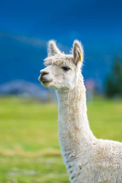 alpaca en el sur de la isla nueva zelanda - alpaca fotografías e imágenes de stock