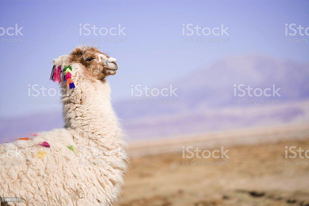 Alpaca in the desert royalty-free stock photo