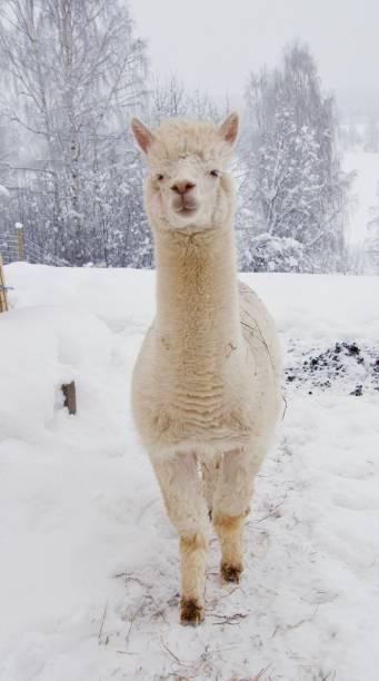 Alpaca Llama winterAlpaca Llama in winter in the North stock photo