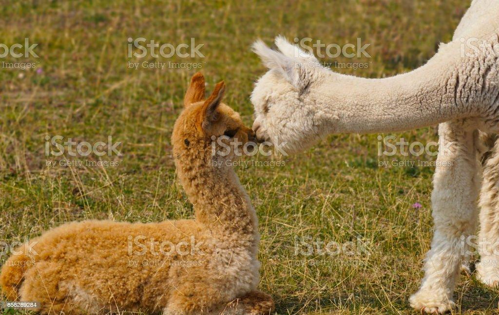 Alpaca Love stock photo