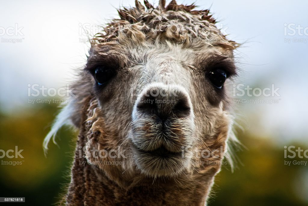 Alpaca on Alert stock photo