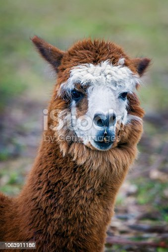 Close up portrait of a cute alpaca needing a haircut
