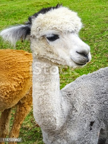 Stock photograph of alpacas in Queensland, Australia.