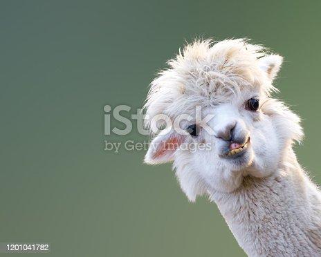 istock Alpaca 1201041782