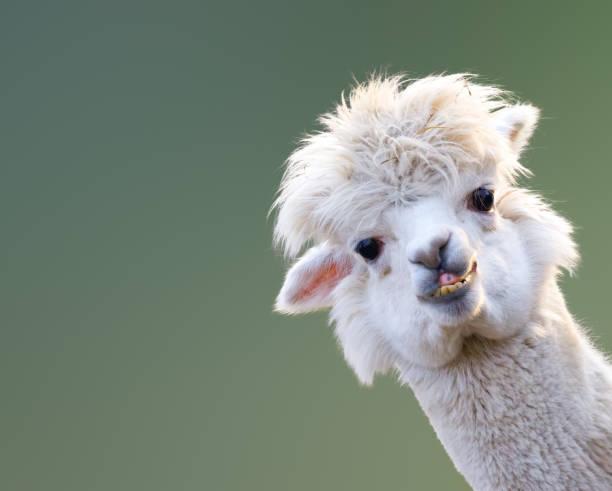 alpaka - lama kamelartige stock-fotos und bilder