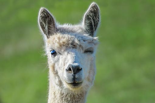 Close up portrait of a cute alpaca winking