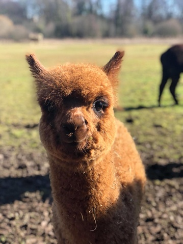 White Alpaca, a white alpaca in a green meadow. Selective focus on the head of the alpaca. photo of head.