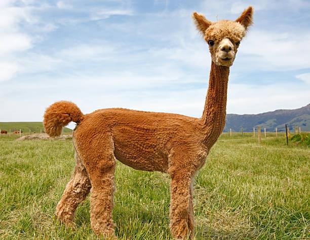 alpaca - alpaca fotografías e imágenes de stock