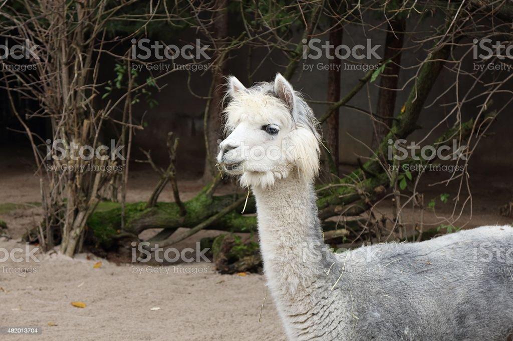 Alpaka – Foto