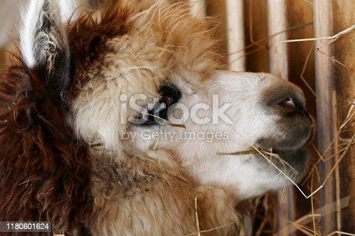 Alpaca (Vicugna pacos) Portrait