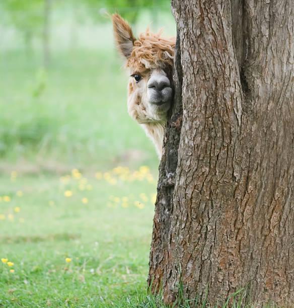 retrato de alpaca - alpaca fotografías e imágenes de stock