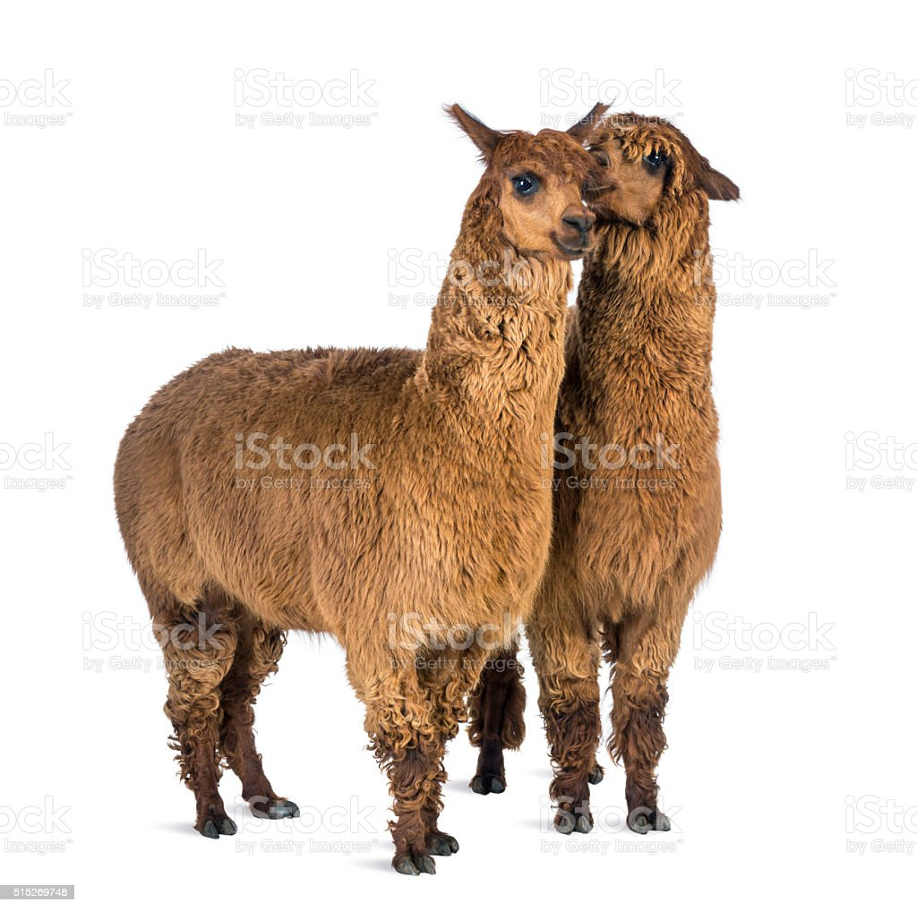 Alpaca whispering at another Alpaca's ear against white background foto