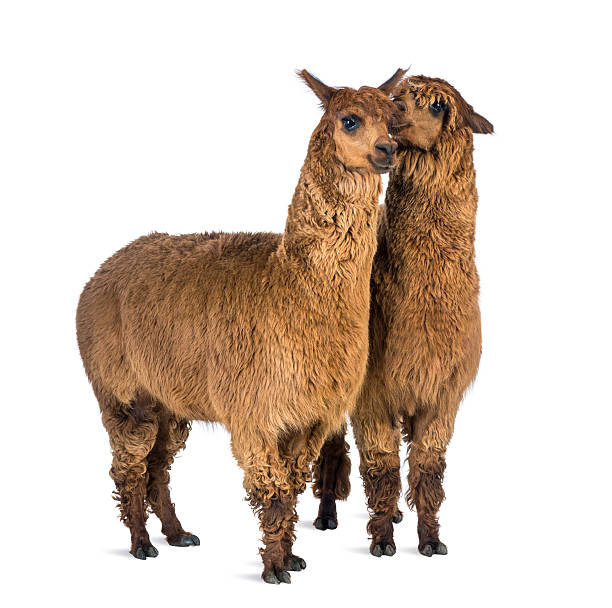 Alpaca whispering at another Alpaca's ear against white background stock photo