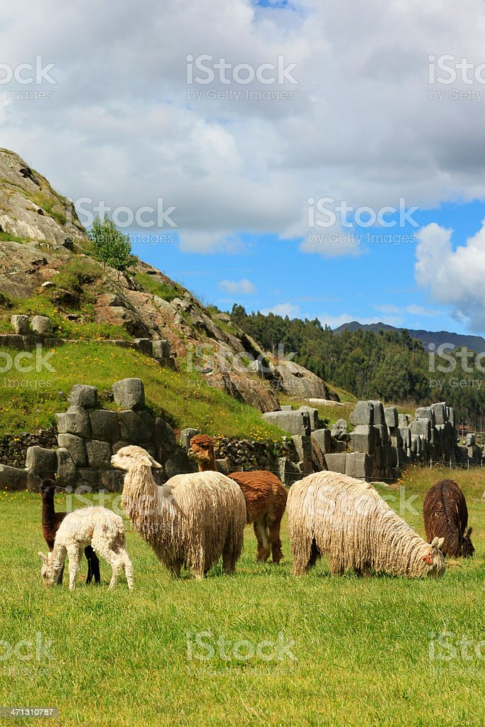 Alpacas at Sacsayhuamán - Cusco, Peru stock photo