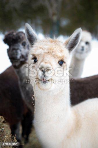 Three alpacas eating hay, looking at the camera.