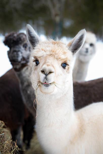 Alpacas eating hay stock photo