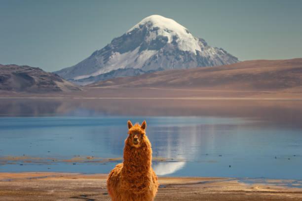 在智利北部薩賈馬火山底部的春加拉湖畔, 羊駝毛 (vicugna pacos) 在吃草。 - 阿爾蒂普拉諾山脈 個照片及圖片檔