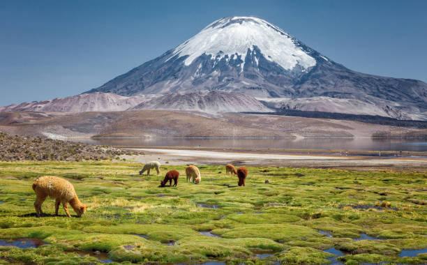 羊駝 (vicugna pacos) 在智利北部 parinacota 火山基地 chungara 湖岸邊放牧。 - 阿爾蒂普拉諾山脈 個照片及圖片檔