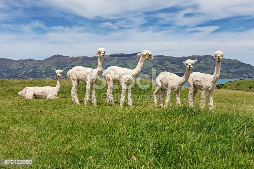 Alpacas herd on pasture, Acaroa, South Island New Zealand