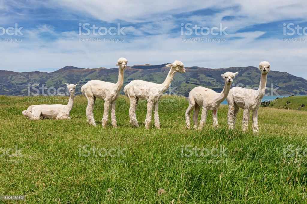 Alpacas herd on pasture, Acaroa, New Zealand stock photo