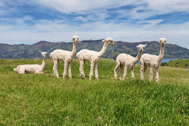 rebaño de alpacas en el pasto, acaroa, nueva zelanda - alpaca fotografías e imágenes de stock