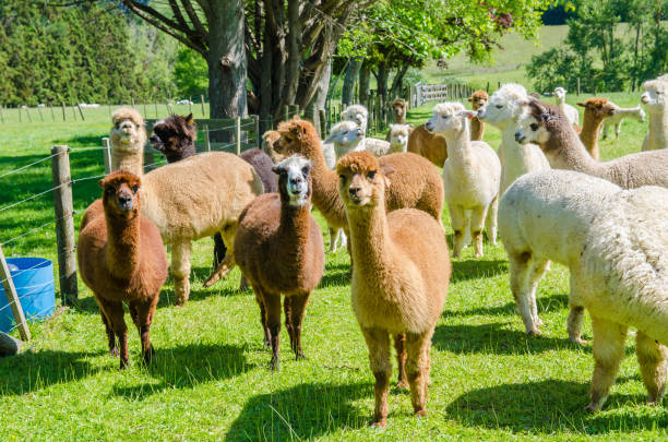 Alpacas in a farm of New Zealand. stock photo
