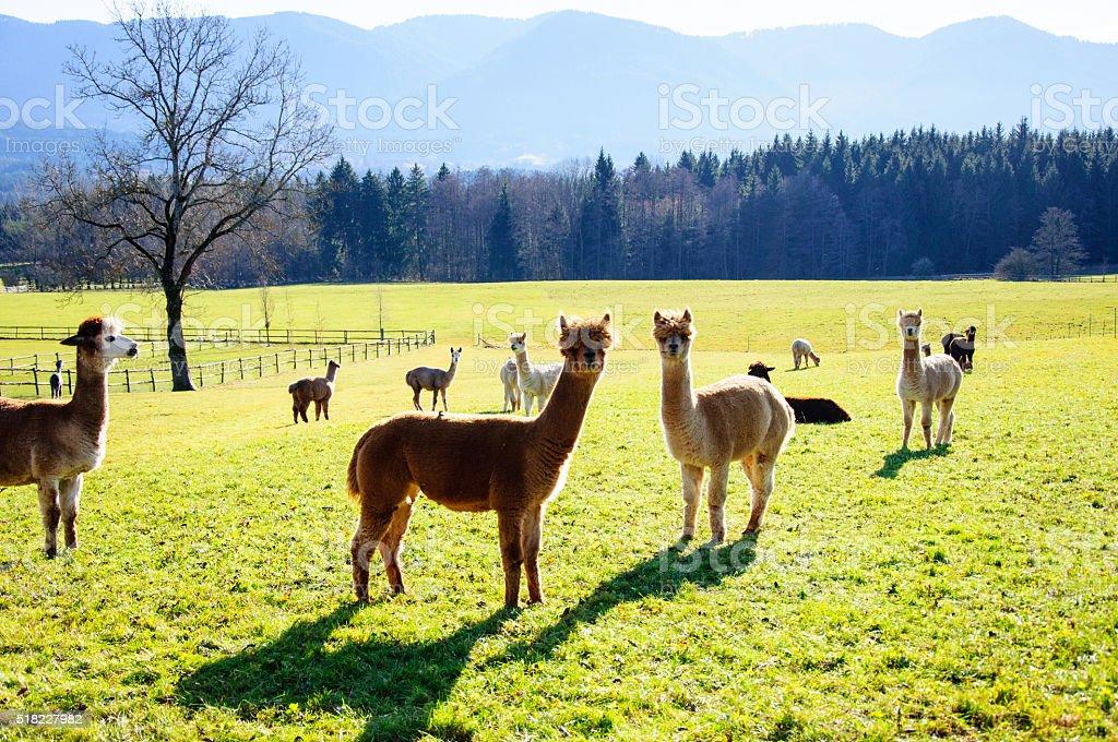 Alpacas in a field stock photo