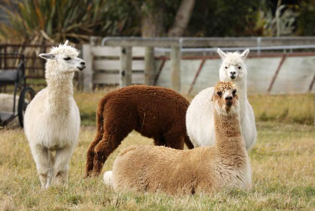 alpakas in neuseeland - lama kamelartige stock-fotos und bilder