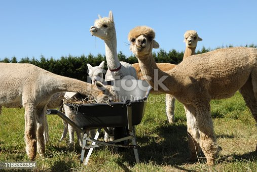 Alpacas in New Zealand