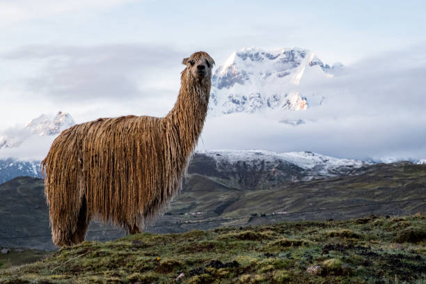 Alpacas in the Andes watch the morning sun come up with the Ausangate mountain in the back stock photo