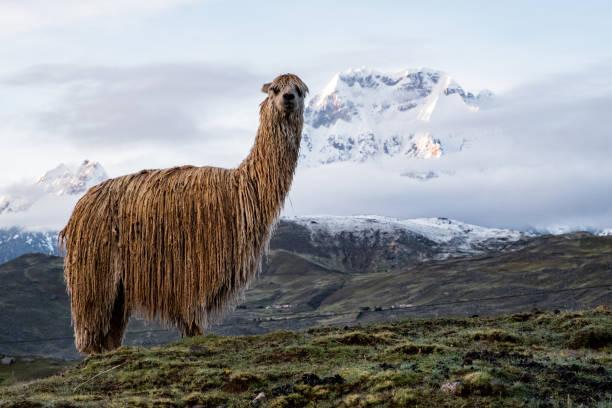 alpakas in den anden beobachten, wie die morgensonne mit dem ausangate-berg im rücken aufgeht - lama kamelartige stock-fotos und bilder