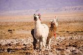 Alpacas in the Salar de Atacama (Atacama Salt lake), Tambillo, Los Flamencos National Reserve, Atacama desert, Chile, South America