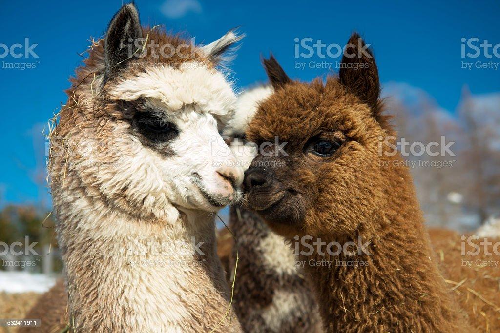 Alpacas kissing stock photo