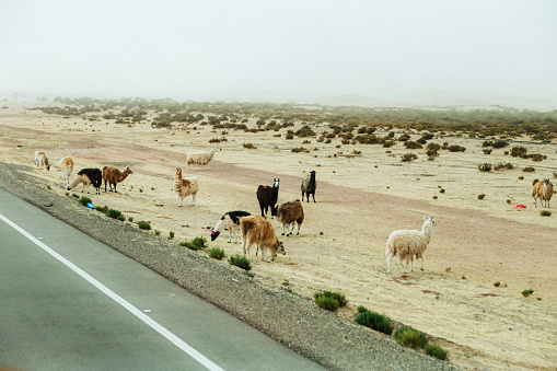 Alpacas near the road in desert in Bolivia