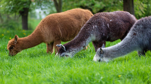 Alpacas of different colors eating grass stock photo