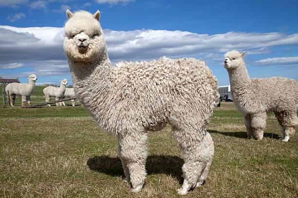 alpakas auf einer farm, schottland - lama kamelartige stock-fotos und bilder